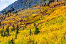 Aspen Colors In Autumn On Hillside