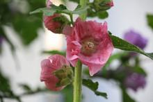 Alcea Rosea Deep Pink