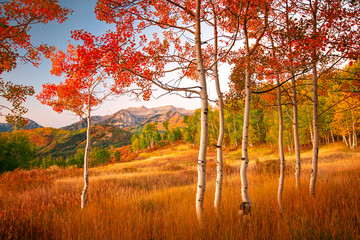 Fototapeta Brzoza Autumn scene in the Wasatch Mountains, Utah, USA.
