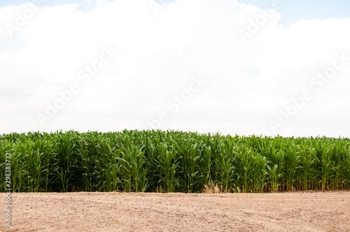 Valokuva  Cornstalks next to an untilled field in Colorado.