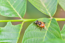 A Close-up Of An Insect Perching On A Wild Plant: Aphid Eater