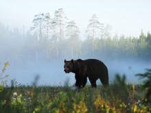 Brown Bear, Ursus Arctos, Walk...