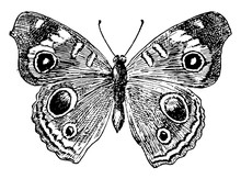 J Coenia Butterfly, Vintage Il...