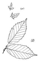 Genus Carpinus, L. (Hornbeam) Vintage Illustration.