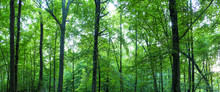 Huge Forest Panorama. Big Pict...