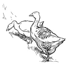 Two Geese, Vintage Illustration.