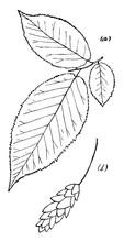 Genus Ostrya, Scop. (Hop-Hornbeam) Vintage Illustration.