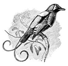 Wilson Bird Of Paradise, Vinta...