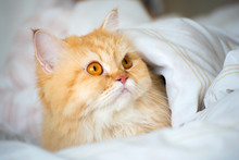 Persian Cat Laying On Bed Under White Blanket