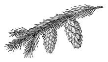 Engelmann Spruce Pine Cone Vintage Illustration.