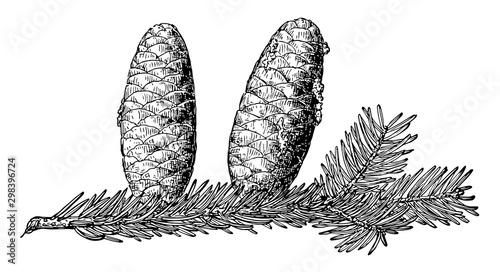 Photo Pine Cone of Balsam Fir vintage illustration.
