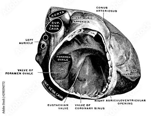 Vászonkép  Fetal Heart, vintage illustration.