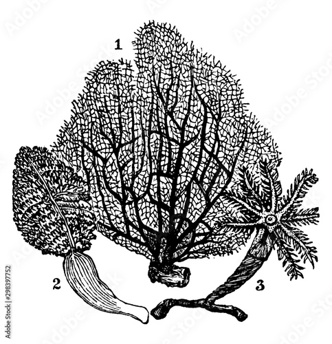 Photo Alcyonaria, vintage illustration.