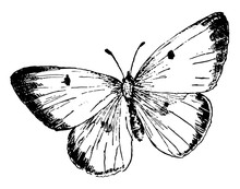 C Philodice Butterfly, Vintage Illustration.