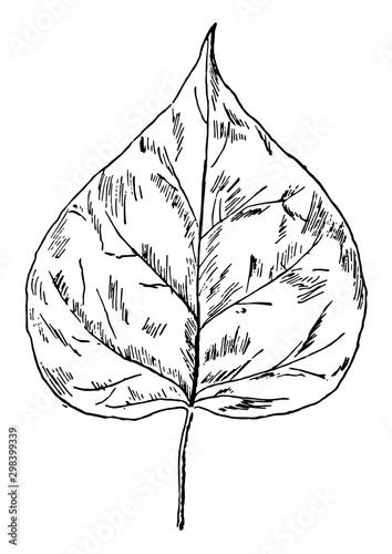 Catalpa Leaf vintage illustration. Wallpaper Mural