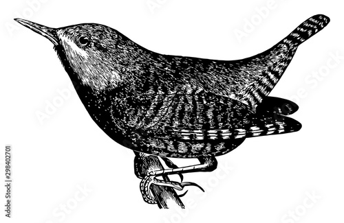 Fotografía Winter Wren, vintage illustration.
