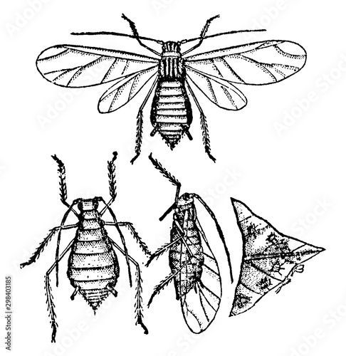 Canvastavla Aphis Gossypii, vintage illustration.