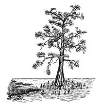 Bald Cypress In Swamp Form Vintage Illustration.