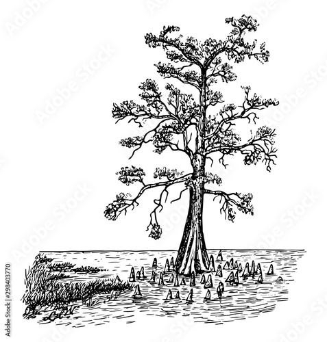 Bald Cypress in Swamp Form vintage illustration. Wallpaper Mural