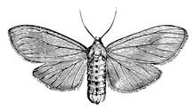 Milkweed Tiger Moth, Vintage Illustration.