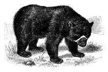 Spectacled Bear, Vintage Illus...