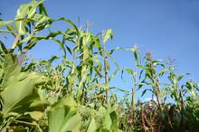 Plantation Area Of Corn  Durin...