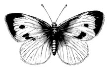 Large White Cabbage Butterfly, Vintage Illustration.