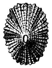 Shell Of Keyhole Limpet, Vintage Illustration.