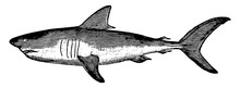 Mackerel Shark, Vintage Illustration.