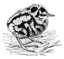 Young Woodcock, Vintage Illust...