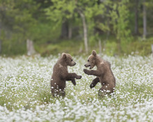 Two Brown Bear Cubs Playing In...