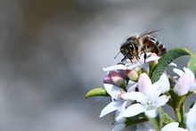 A Honey Bee Atop A Clump Of Wh...