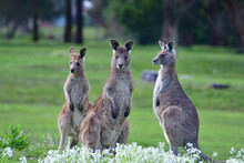 A Trio Of Eastern Grey Kangaro...
