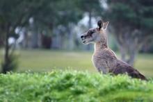 Kangaroo Sunning Itself At The...