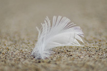 Swan Feather On The Sand