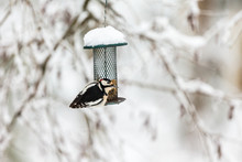 Great Spotted Woodpecker Sitting On A Bird Feeder