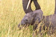 Newborn Elephant Calf In The G...