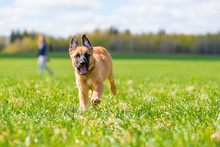 Active Mongrel Dog Running Through The Grass In The Park