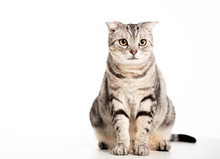 Beautiful American Shorthair Cat  Isolated