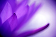 Leinwandbild Motiv Purple lotus petals with blurred background