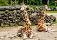 Giraffes Sitting In Their Comp...