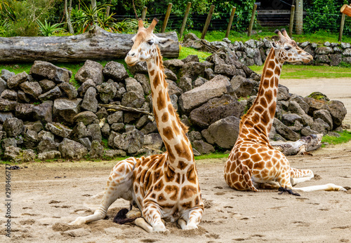 Photo Giraffes sitting in their compound