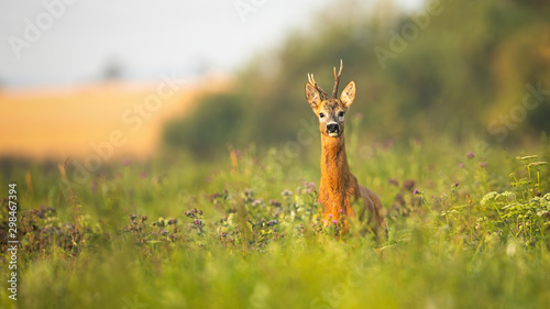 Foto op Plexiglas Ree Roe deer, capreolus capreolus, buck standing proudly with head up on a meadow with wildflowers at sunrise. Wild animal with fur wet from dew facing camera in summer with copy space.