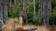 Red deer (Cervus elaphus) mistrustful stag sensing danger