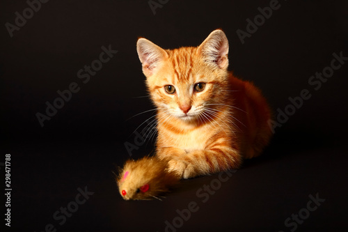 Fotomural Ginger mackerel tabby cat playing with a cat toy mouse isolated on a black backg