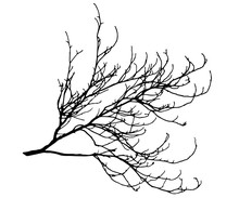 Tree Branch Silhouette Vector. The Branch Of The Chestnut.