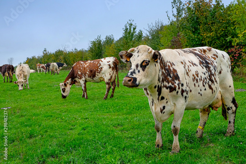 Photo vache normande
