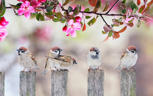 Cute Little Birds Sparrows Sitting On Wooden Fence Under Blooming Pink Apple Tree Branch In May Garden On Sunny Day