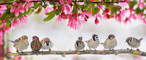 cute little birds sparrows sit on a flowering pink branch of an Apple tree in a Canvas Print