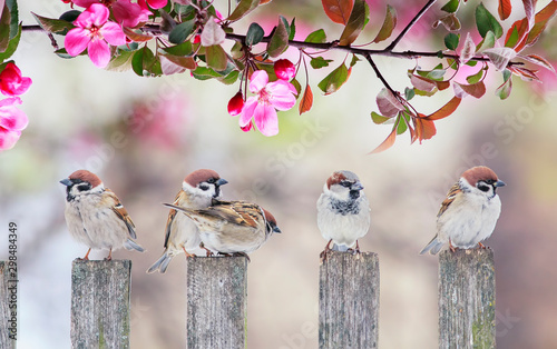 Fototapeta cute little birds sparrows sitting on wooden fence under blooming pink Apple tree branch in may garden on Sunny day obraz
